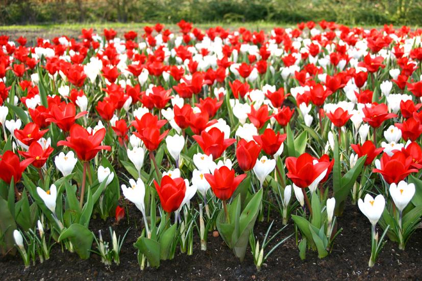 Gallery Keukenhof Gardens Tulips Perennial Garden Plants